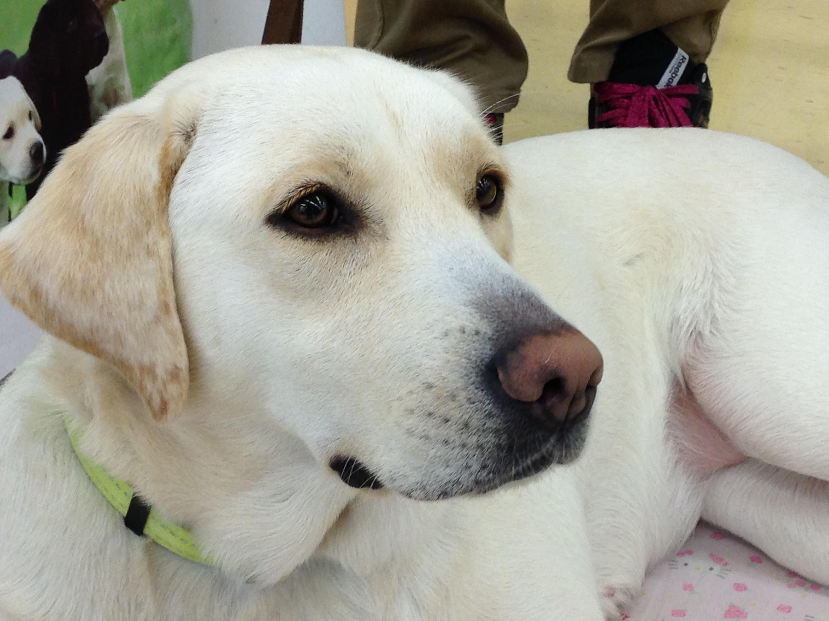 盲導犬がやってきた!グリーンモール山室で開催された盲導犬の啓蒙活動レポートの画像